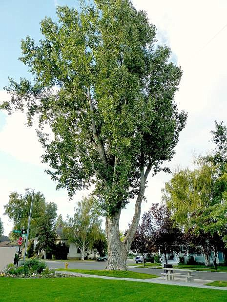 One of the last two old cottonwood trees at the corner of Mono and 5th streets in Minden Park.