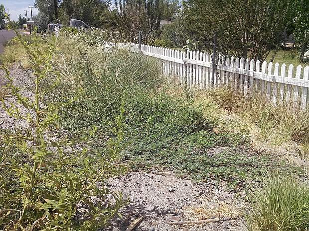 Puncturevine is one of themost dominant noxious weeds in the county.