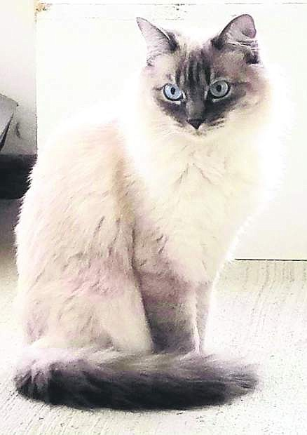 Ghost, a 2-year-old Siamesecat, is looking for a home.