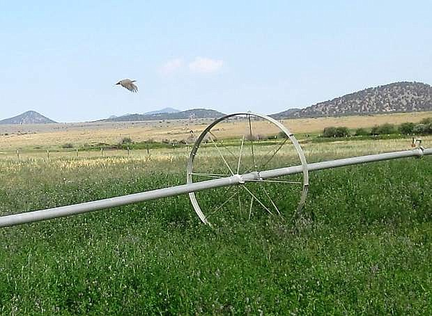 A sage grouse flushes in an irrigated pasture on the Sweetwater Ranch. Owner Bryan Masini said he sees 200-300 birds on the ranch throughout the summer.