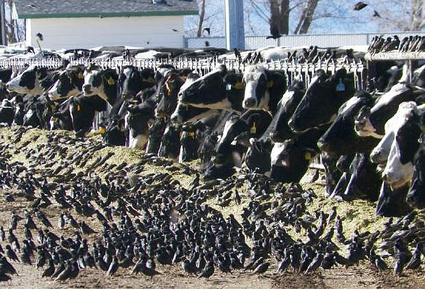 In this undated photo provided by the USDA Animal and Plant Health Inspection Service, a flock of European starlings litter a feedlot in Fallon, Nev. Land owners surprised to discover tens of thousands of dead birds across the high desert are criticizing the federal government over a mass killing of starlings in northern Nevada. An Agriculture Department spokesman said a pesticide was used to destroy the birds to prevent the spread of disease to dairy cows. Some area residents, however, say the government should have done more to alert the public and to dispose of the dead birds. (AP Photo/USDA APHIS, Jack Spencer)