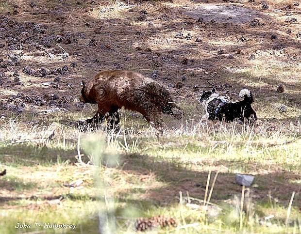 A bear runs from a Karelian bear dog in Jacks Valley on Thursday morning.