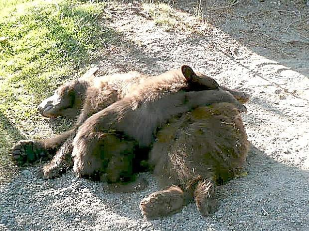 Two bears captured by the Nevada Department of Wildlife on Thursday morning.