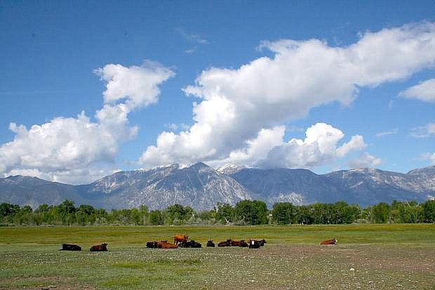 Cattle graze in green fields as Jobs Peak stands in the Carson Range. Warmer temperatures and dry conditions could increase the chance of fire danger in the Sierra.