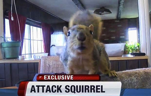 This Sunday, Feb. 12, 2017 image from video provided by KIVI-TV shows an indoor pet, a squirrel named Joey in Meridian, Idaho. Police said the squirrel has thwarted a burglary attempt. The Meridian Police Department said a juvenile entered the home last week and told police after later being arrested that the squirrel attacked him when he tried to break into a gun safe. (KIVI-TV via AP)