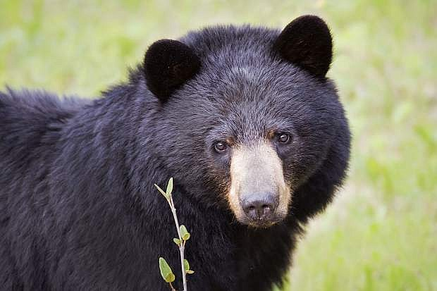 A Black Bear looks innocently at the camera.