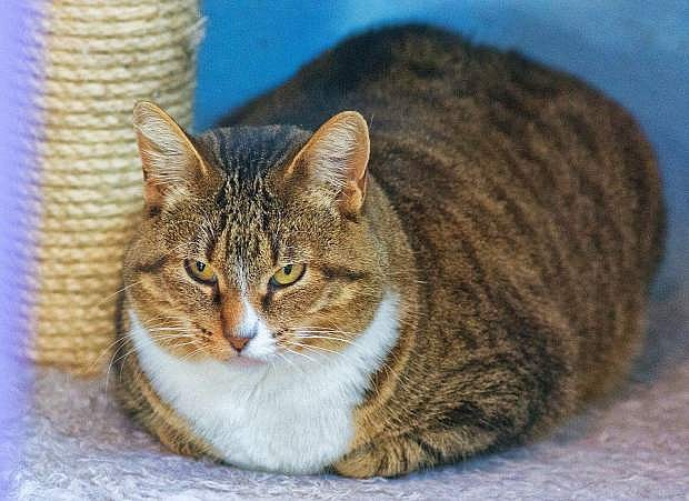 Xena, a gray-brown tabby, loves other cats and shares her c likes treats,