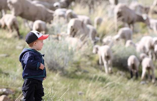 "Ellis Wilkerson, 2, ""baaas"" to the sheep grazing on C Hill Tuesday afternoon."