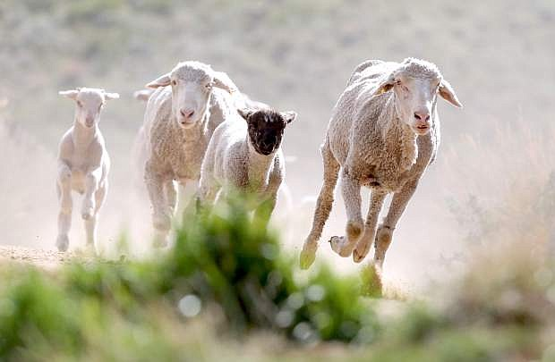 Sheep run to a water trough located at the bottom of C Hill on Tuesday.