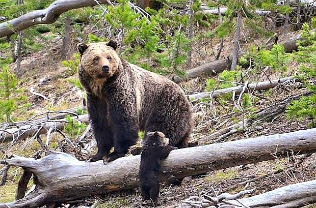 A female grizzly bear and her cub wander in the wilderness at Yellowstone National Park.