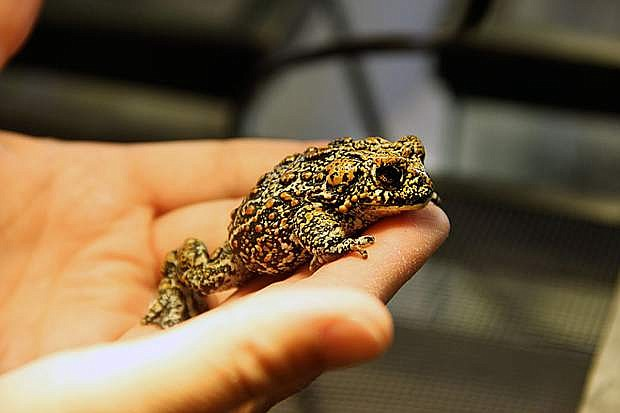 A recently discovered new species of toad, the Dixie Valley toad, was found in a spring-fed marsh in the Great Basin of Nevada, which was once covered by large marshes and giant inland lakes during the Pleistocene Epoch and is now among the most arid regions in the United States with only one percent of the landscape containing water. Photo courtesy of the University of Nevada, Reno.