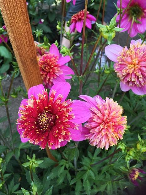"""A dahlia called """"Mexico"""" that looks like a fireworks display."""