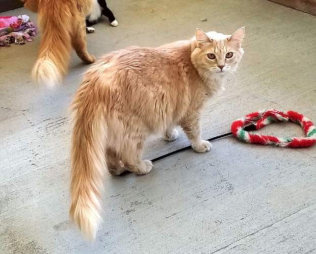 Butterscotch is three-year-old male domestic longhaired orange tabby. He is very friendly and loves to be brushed. Come out and meet him. He loves children, cats and dogs. You will be charmed by his adorable manners.