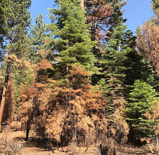 Caltrans plans to move forward with the removal of an estimated 875 dying hazardous trees along 67.83 miles of California highways in the Tahoe Basin.