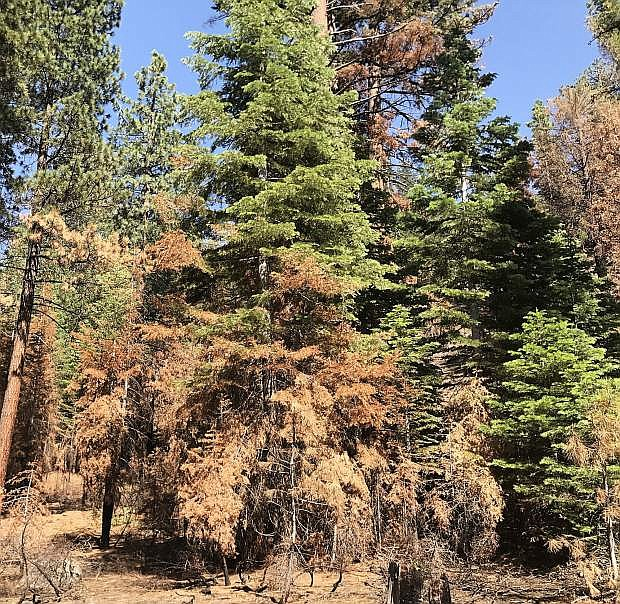 In the Tahoe Basin, 168,000 trees died this year on the lands managed by the U.S. Forest Service Lake Tahoe Basin Management Unit.