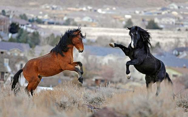 Animal rights activists are suing to block what they say is an unprecedented federal plan to capture thousands of wild horses over 10 years in Nevada without the legally required environmental reviews intended to protect the mustangs and U.S. rangeland.