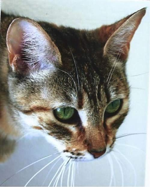 Looking for a home: Rita, a beautiful gray-brown tabby, is six years old. She loves to talk and surprisingly likes to play in water. I always thought cats hated water until I met Rita. Come out and let her tell you a story. Rita is charming!