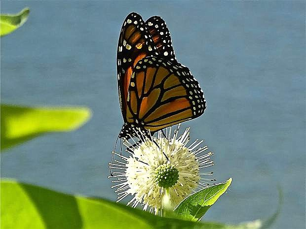 A Monarch butterfly lands near the water at Englebright Reservoir.