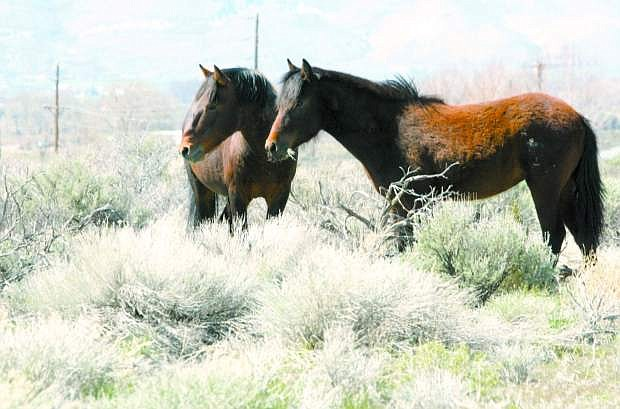 A pair of wild horses standing alongside Dump Road in 2006.