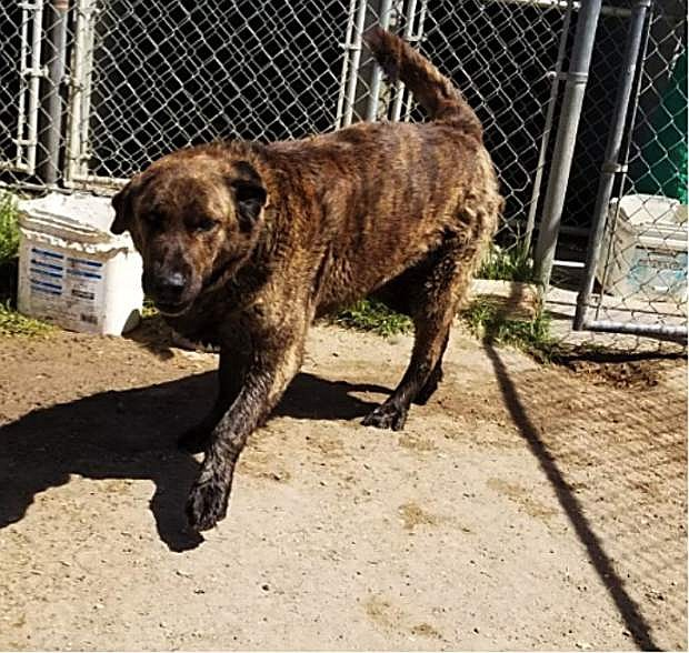 Looking for a home: Weldon, a Lab/bullmastiff mix, is seven years old. He is great with dogs and loves children. Weldon has spent most of his life in a kennel, so he needs a home with someone who will spend time house training him. He is extremely smart and willing to learn.