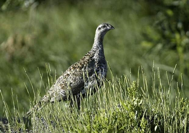 A sage grouse stands in a meadow at the Smith Creek Ranch east of Fallon on July 25, 2005.
