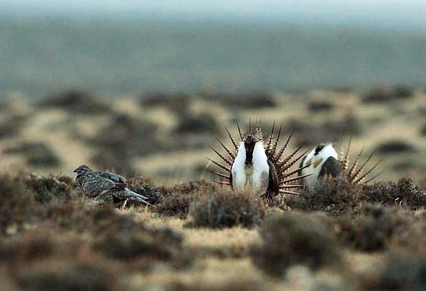 File - This April 10, 2014, file photo shows a male sage grouse trying to impress a group of hens.