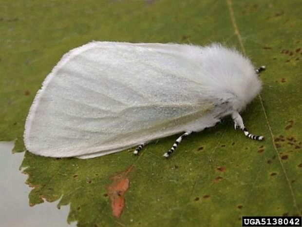White satin moth. Photo courtesy Perry Hampson, Bugwood.org.