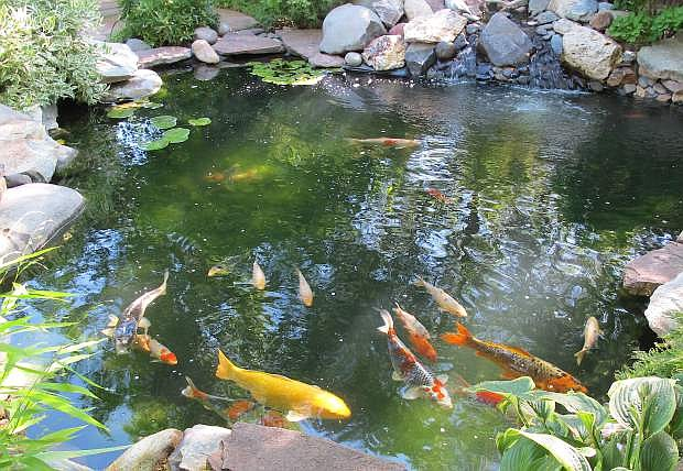 The yellow fellow is the grandfather, literallly a big fish in Sue Roaldson's 4,000-gallon pond in Minden.