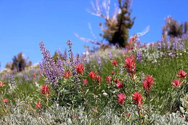 In the summer, wilderness areas around Tahoe burst with wildflowers.