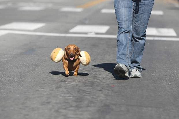 Max, the four-year-old hot dog, and Susan McCarthy walk in the Nevada Day parade with the Carson Animal Services Initiative.