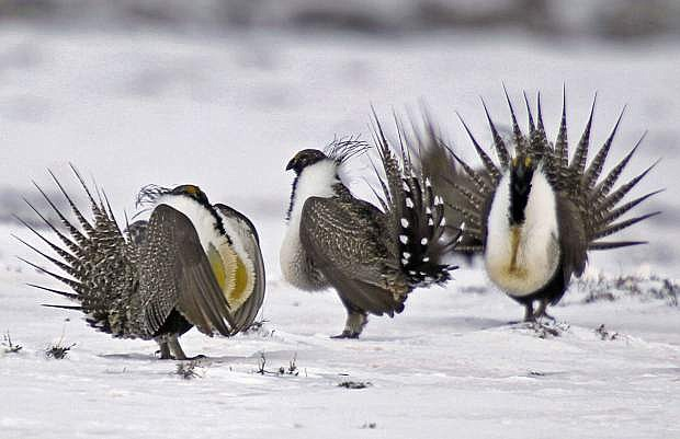 FILE - In this April 20, 2013 file photo, male greater sage grouse perform mating rituals for a female grouse, not pictured, on a lake outside Walden, Colo. A federal judge on Wednesday, Oct.16, 2019, has temporarily blocked the Trump administration rules that eased restrictions on oil and gas drilling and other development on portions of seven U.S. Western states. (AP Photo/David Zalubowski, File)