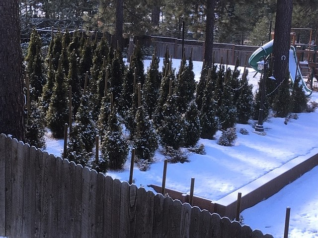 Rows of 8-foot evergreens planted with stakes at this residence in Incline Village appearing to choke the trees demonstrate the need to plant with defensible space in residential areas.