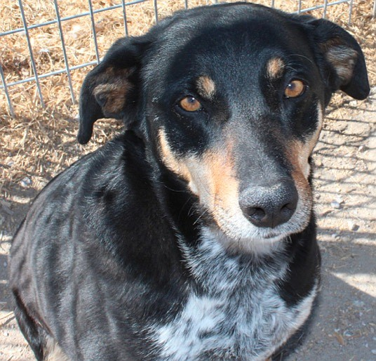 Ruby is an adorable five-year-old Kelpie-Heeler mix. She is a sweet playful girl who loves walks and running in the yard. She enjoys being with men, women and most dogs. Ruby is looking for a loving home. Do you have room in your heart for this sweet girl? Come out and take her for a walk.