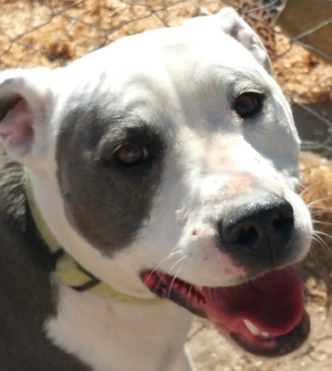 Zoey is a 3-year-old American Staffordshire Terrier. She is so adorable you will fall in love with her. Zoey loves riding in the car, chasing the ball and walking. She would like to be an only child and will smother you with love and attention. Come out and meet her.