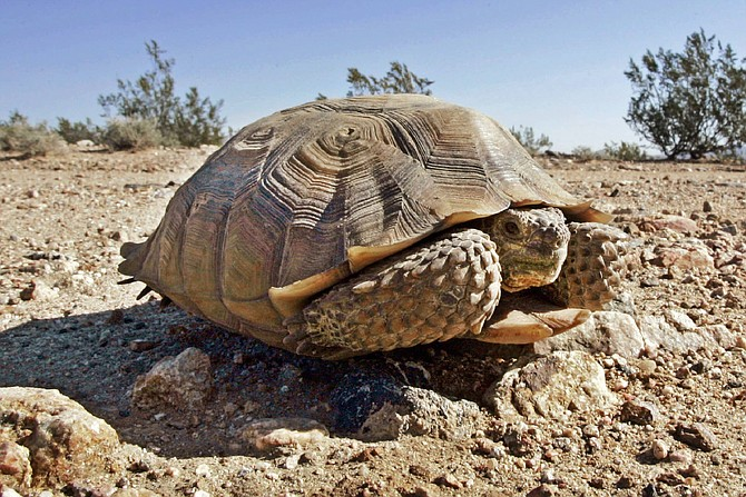 FILE - This Sept. 3, 2008 file photo shows an endangered desert tortoise in the middle of a road at the proposed location of three BrightSource Energy solar-energy generation complexes in the eastern Mojave Desert near Ivanpah, Calif., just south of the Nevada state line. The Trump administration has given final approval to the largest solar energy project in the U.S. and one of the biggest in the world despite objections from conservationists who say it will destroy habitat critical to the survival of the threatened Mojave desert tortoise in southern Nevada.