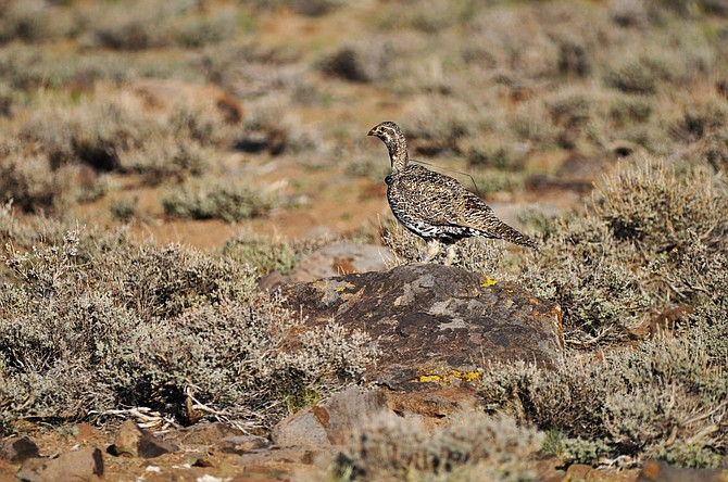 FILE - In this March 10, 2010, file photo, provided by the U.S. Fish and Wildlife Service, is a female bi-state sage grouse in Nevada. A federal judge has upheld U.S. Forest Service authority to keep a 250-mile motorcycle race out of sage grouse habitat in Nevada's high desert. Judge Miranda Du in Reno rejected a lawsuit by off-road vehicle enthusiasts who argued the agency illegally short-circuited the environmental review process. They had challenged rules barring off-road travel within 4-mile buffers around bi-state grouse breeding groups between March 1 and June 30 along the California-Nevada line.