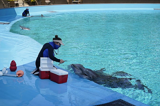 A trainer, wearing a mask as a precaution against the coronavirus, feeds dolphins at Siegfried & Roy's Secret Garden and Dolphin Habitat during the reopening of the Mirage hotel and casino, Thursday, Aug. 27, 2020, in Las Vegas. The casino closed earlier this year due to the coronavirus outbreak.