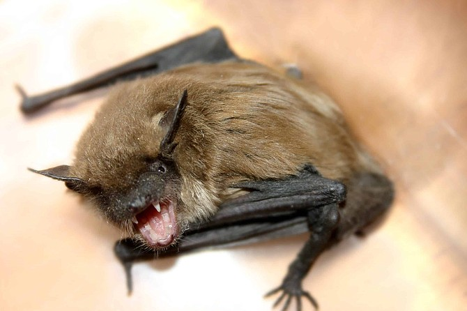 An angry bat looking for someone or something to bite. Nice close-up of fangs.