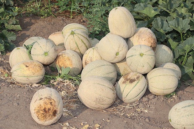Freshly picked cantaloupe lines the dirt roads of Lattin Farms.