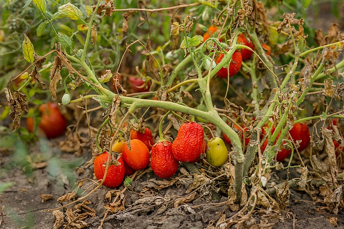 Dried tomatoes. Bad harvest. Unsatisfactory results of growing organic vegetables. Losses of farmers.