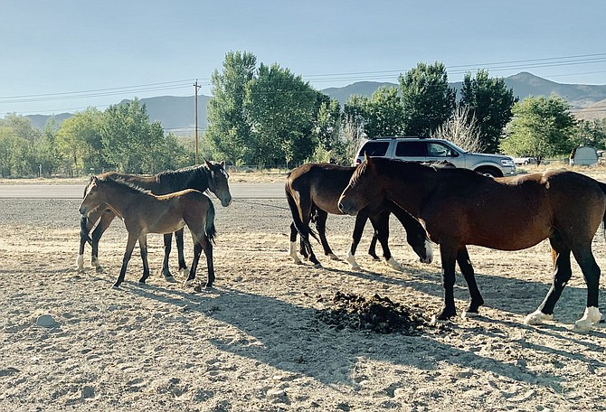 Motorists are urged to use caution along U.S. 50 between Silver Springs and the Carson City area because of the number of wild horses roaming.