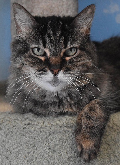 Sheba is a beautiful 12-year-old brown tabby who came to CAPS because she was afraid of the family dog. She is a bit shy but loves to visit and be held. Sheba is looking for a calm home with folks who will love her. Come out and meet her; she would love to curl up in your lap.