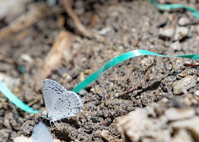 The Mount Charleston Blue Butterfly.