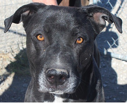 Pumba is a striking four-year-old black Lab/mix with beautiful golden eyes. He enjoys playing, running, and taking walks. Fun and very active, Pumba came to CAPS because his owner passed away. He is looking for someone who will love and care for him. Will you be that someone? Come out and meet him.