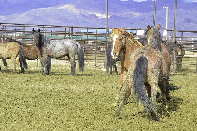 Fish Springs herd wild horse Copper in captivity in 2019 after being trapped in the East Valley.